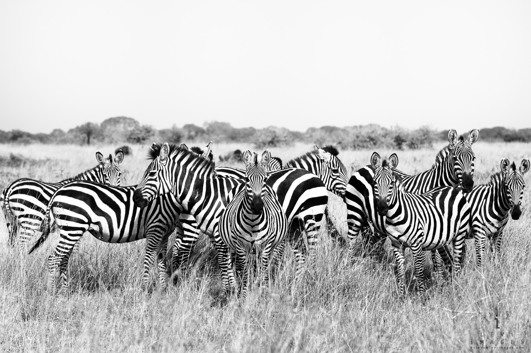 Plains zebra (Equus quagga) looking, black-and-white. Maasai Mara, Kenya